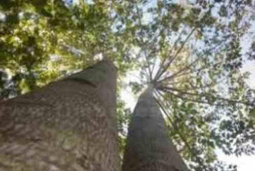 Saat Investor Kepincut Rayuan Investasi Pohon Jabon
