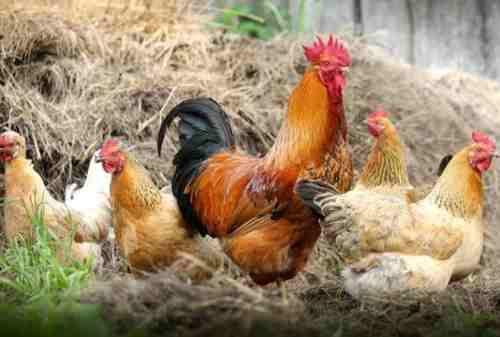 Sejumlah Fakta Unik Tentang Ayam Yang Belum Anda Ketahui